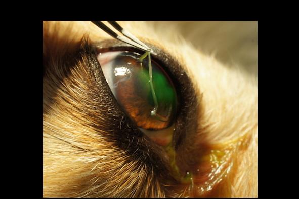 猫の結膜炎って自然治癒する?治療法は?うつった …